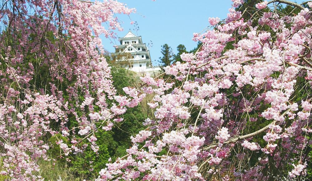 城山公園の桜と郡上八幡城